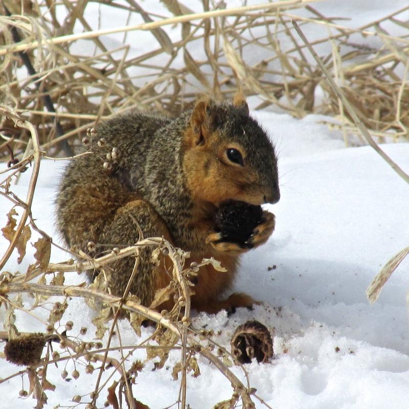 squirrel at arboretum in winter
